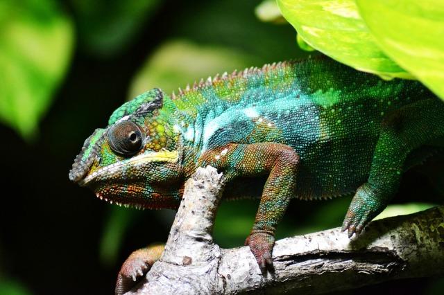 chameleon camouflaging
