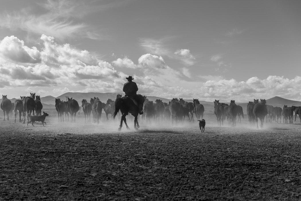 cowboy herding cattle in dust